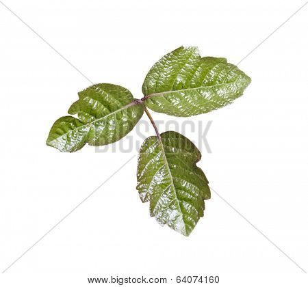 Poison Oak leaves isolated with clipping path.