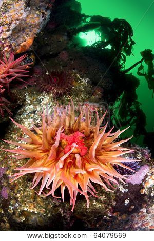 A beautiful sea anemone with extended tentacles exposes its mouth and feeds on plankton from the green, cold water.