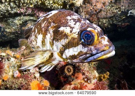 A beautiful cold water rockfish rests atop a reef crevice in the pacific ocean??s channel islands.