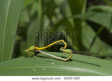 Mated Damselflies On Leaf