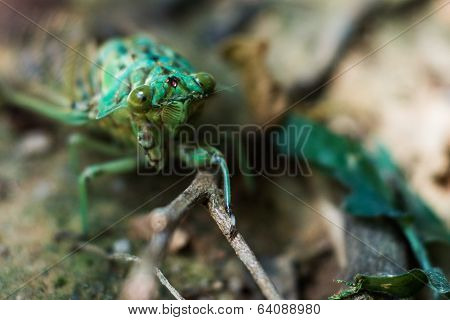 Green Cicada At Brazil Jungle.