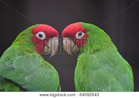 Red Masked Conure