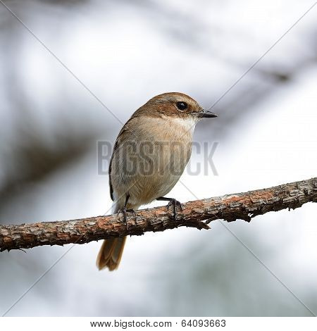 Female Grey Bushchat