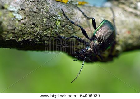 beetle outdoor on the tree bark