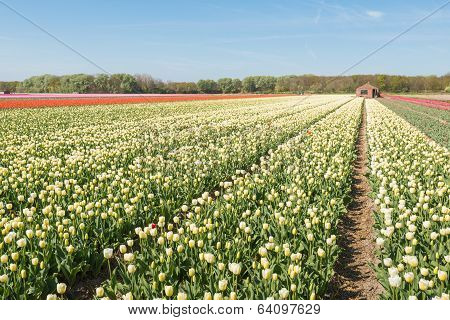 Flowering Tulips In Springtime