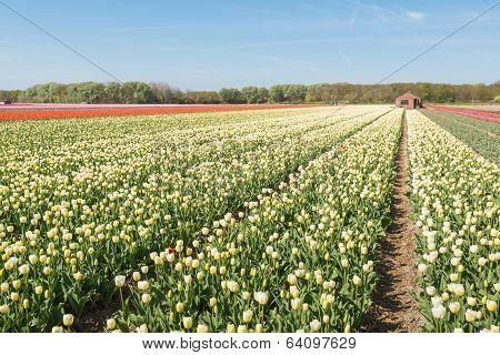 Flowering Tulips In Springtime