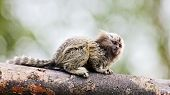 picture of marmosets  - Marmoset monkey resting on a tree stump