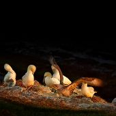 picture of gannet  - Resting gannet family at sundown Germany 2014 - JPG