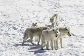 stock photo of horrific  - A pack of Arctic Wolves stand watch - JPG