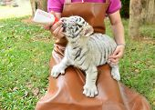 stock photo of white tiger cub  - zookeeper take care and feeding baby white tiger - JPG