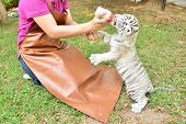 picture of white tiger cub  - zookeeper take care and feeding baby white tiger - JPG