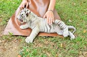pic of white tiger cub  - zookeeper take care and feeding baby white tiger - JPG