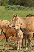 stock photo of calves  - Calf and cow showing tenderness on meadow - JPG