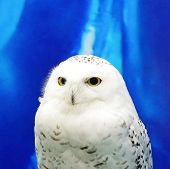 foto of snowy owl  - Beautiful Snowy Owl  - JPG