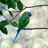 foto of parakeet  - Beautiful green Parakeet bird - JPG