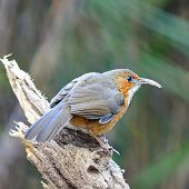 picture of babbler  - Brown bird - JPG