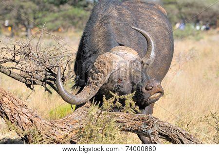 Cape Buffalo Scratching