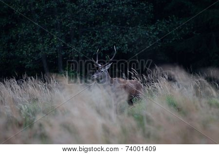 Young Red Stag after sunset