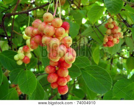 Branch Of Red Ripe Schizandra