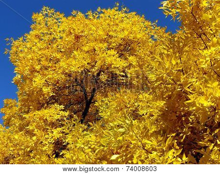 autumnal golden foliage of ash-tree
