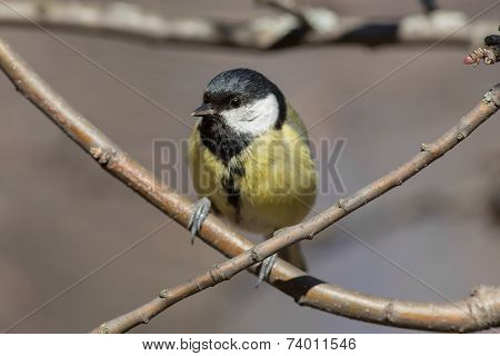 Titmouse On A Tree Branch