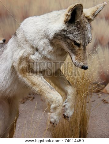 pouncing wild coyote