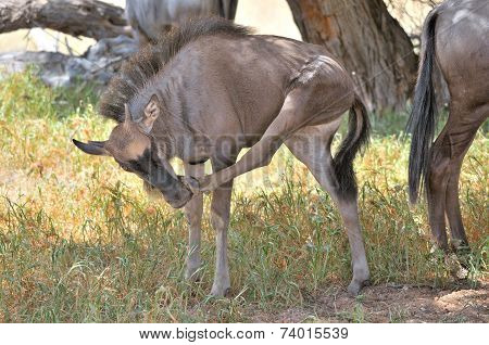 Blue Wildebeest Calf Scratching