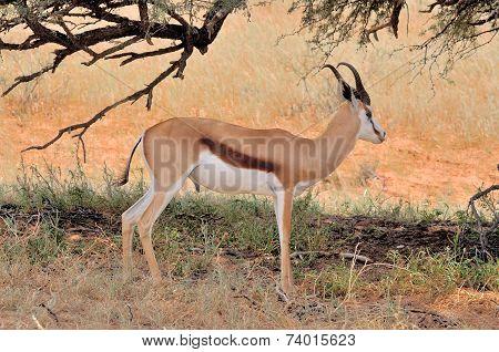 Springbok Hiding Under Tree
