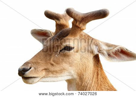 Fallow Deer Stag Isolated On White