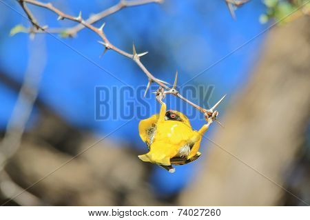 Southern Masked Weaver - African Wild Bird Background - Funny Acrobatics for Gold