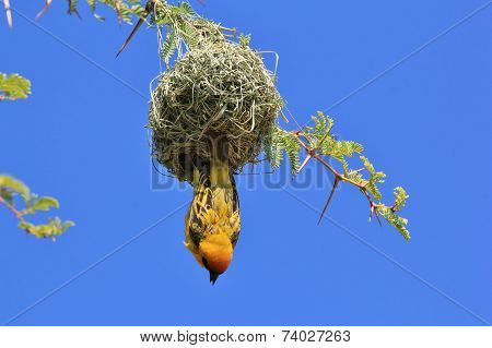 Southern Masked Weaver - African Wild Bird Background - Hanging Home Humor