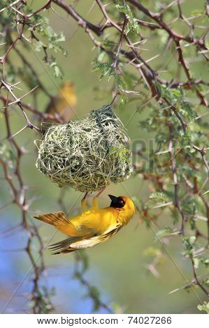 Southern Masked Weaver - African Wild Bird Background - Home Sweet Home