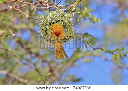 Southern Masked Weaver - African Wild Bird Background - My New Home