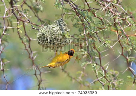 Golden Masked Weaver - African Wild Bird Background - Home between Thorns