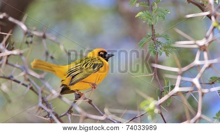 Golden Masked Weaver - African Wild Bird Background - Among the Thorns