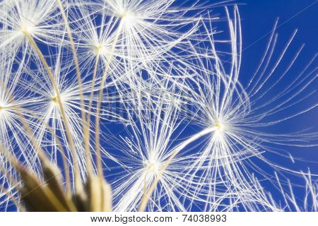 White Dandelion Head On Vibrant Blue Sky