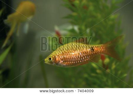 Peixe dourado de Barb