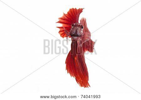 siamese fighting fish, betta splendens