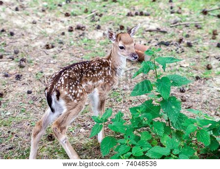 Adorable Fawn In National Park