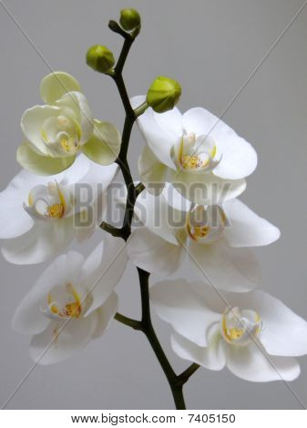 white brazilian catleya