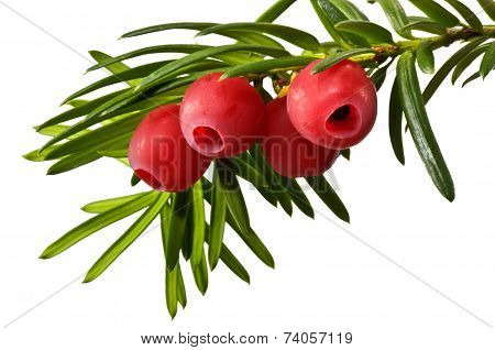 Yew tree in early autumn on a white background