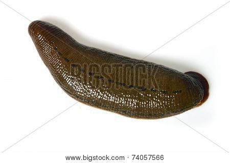 Leech Isolated On White
