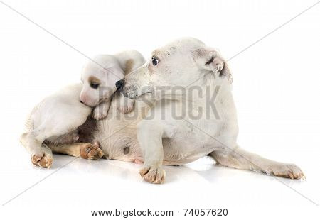 Puppy Jack Russel Terrier And Mother