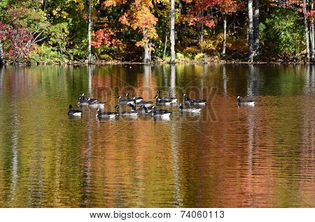 Foliage reflected onto pond with Canada geese