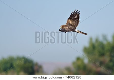Northern Harrier Hunting On The Wing