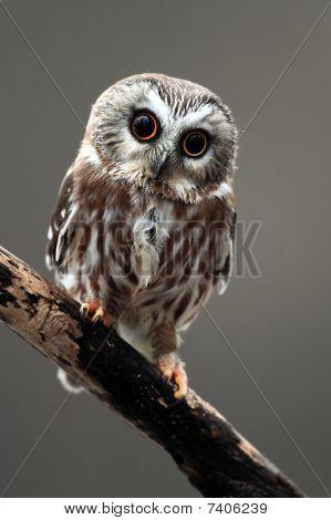 Cute Saw-Whet Owl