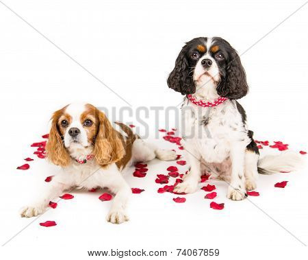 Two king charles spaniel cavalier