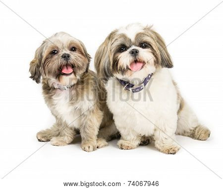 two shih tzus