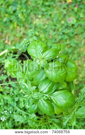 Basil leaves over green background