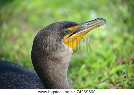 Double-crested Cormorant, Everglades, Florida